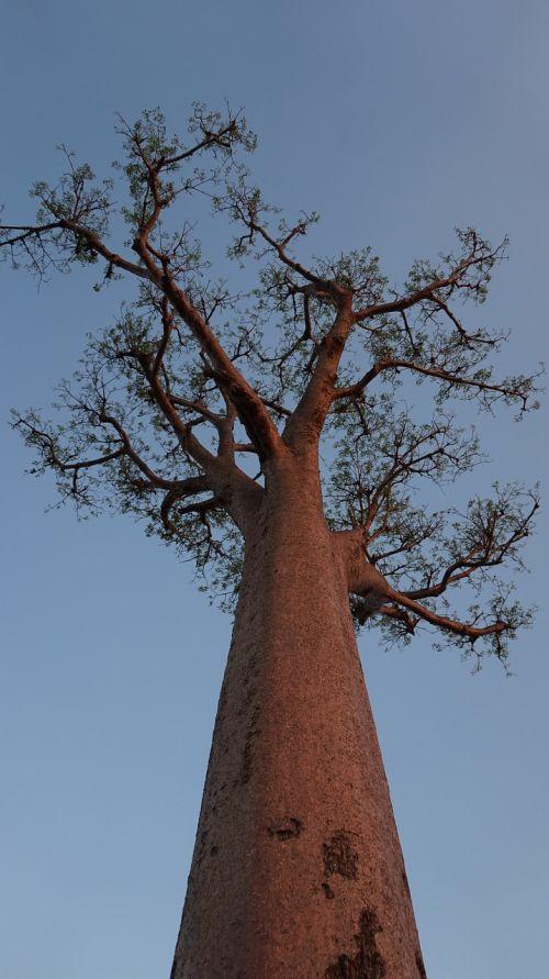 tree baobab madagascar