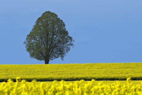 tree field of rapeseeds blue sky
