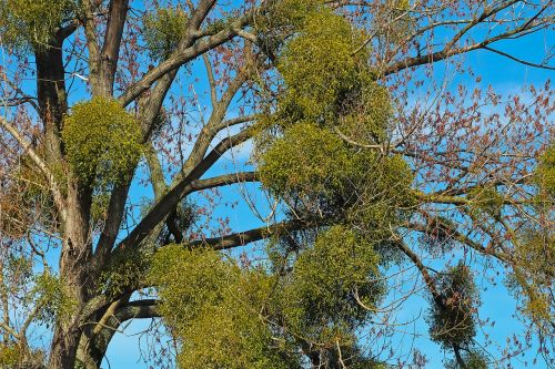 tree mistletoe make the most of