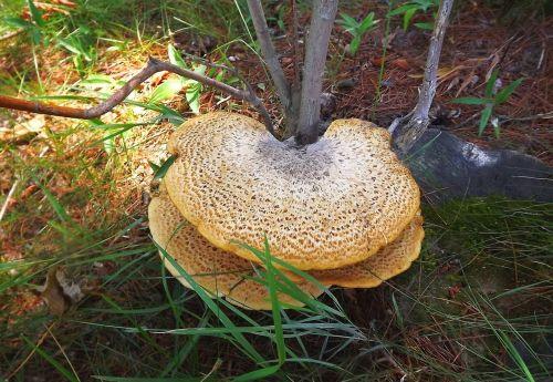 tree mushrooms hub