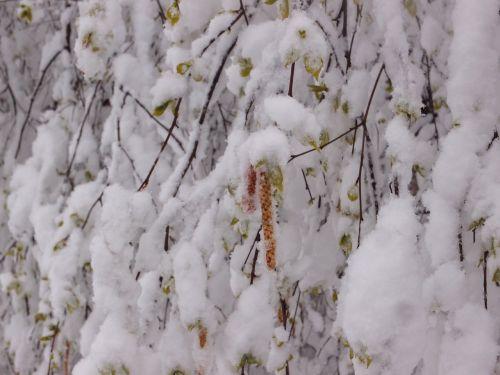 tree birch element