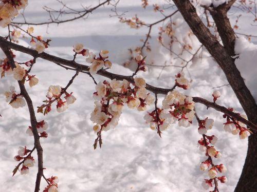 tree apricot element