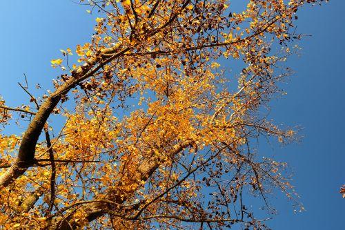 medis,tuopa,juoda tuopa,lapai,ruduo,aukso ruduo,kritimo lapija,palieka rudenį,geltona,auksinis,lapuočių lapai,bustard juodoji tuopa,Kanados tuopa,populus deltoidai,europinis juodas tuoplas,populus nigra,hibridas,dangus,mėlynas