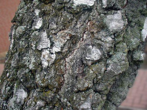 tree birch bark