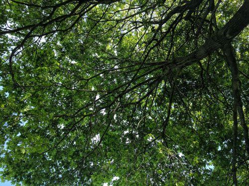 tree shade leafs