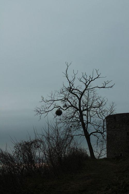 tree dark mistletoe
