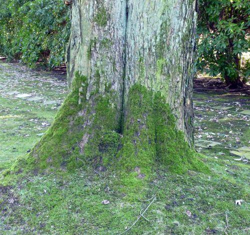 tree moss bark