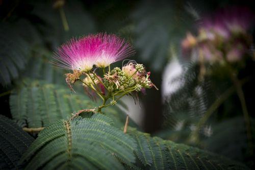 tree silk tree silk acacia