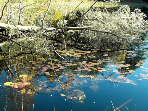 tree pond mirroring