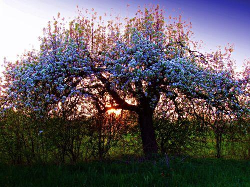 tree spring nature