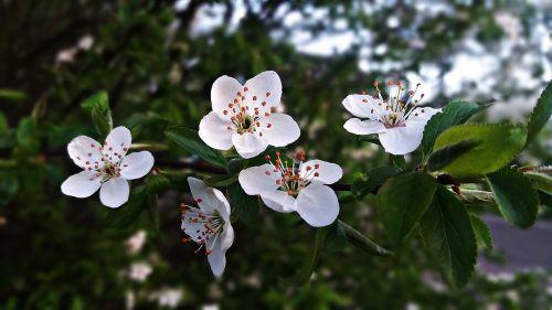 tree flourishing flowers