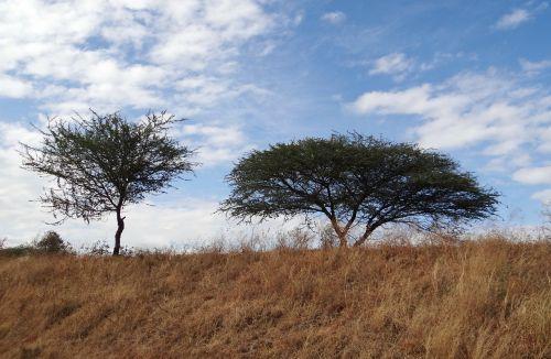 tree acacia nilotica babool