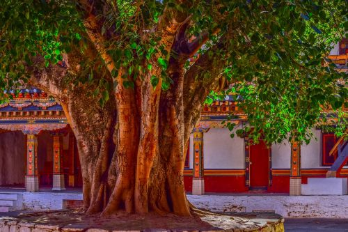 tree,banyan tree,bark,big tree,courtyard,banyan,nature,old,plant,green,wood,trunk,natural,botanical,temple,traditional,branches,texture,religion,growth,season
