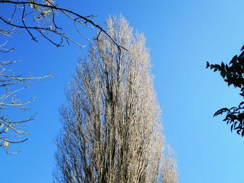 tree poplar aesthetic
