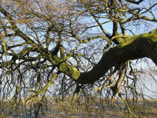 tree bent tribe
