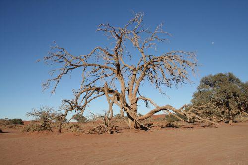 medis,Namibija,dykuma,smėlio,afrika,kraštovaizdis,gamta,sausas,smėlis,sausra,heiss,Nacionalinis parkas,rotorinis smėlis,Sossusvlei,wüstentour,krūmai
