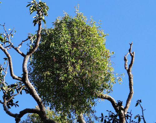 tree mango tree sadhankeri