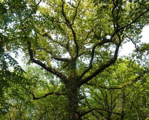 tree nature leaves
