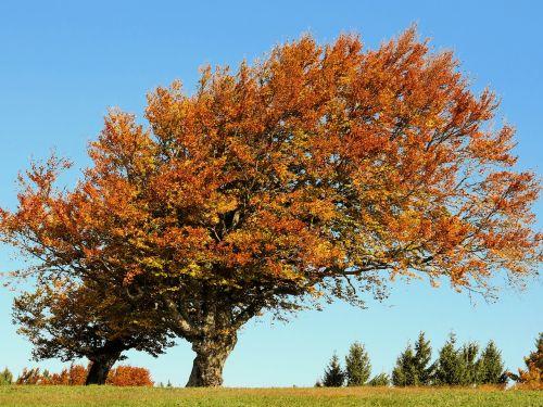 tree beech autumn