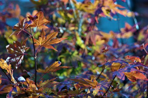 tree leaves maple