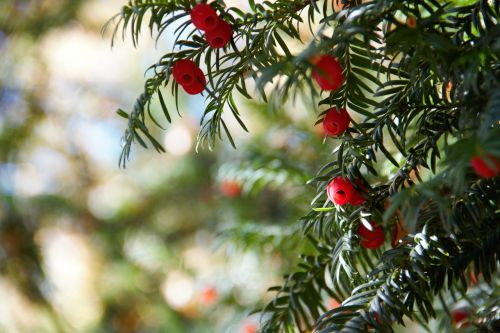 tree yew red berry