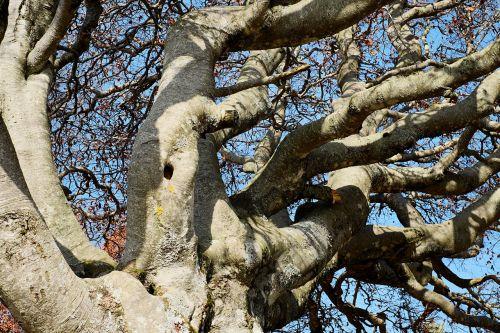tree crown beech