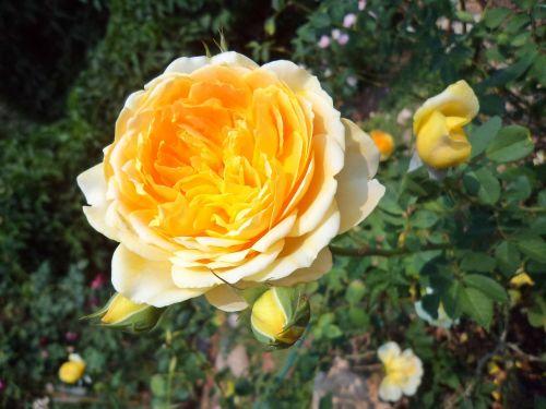 tree flowers rose