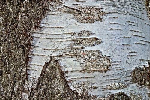 tree birch tree birch