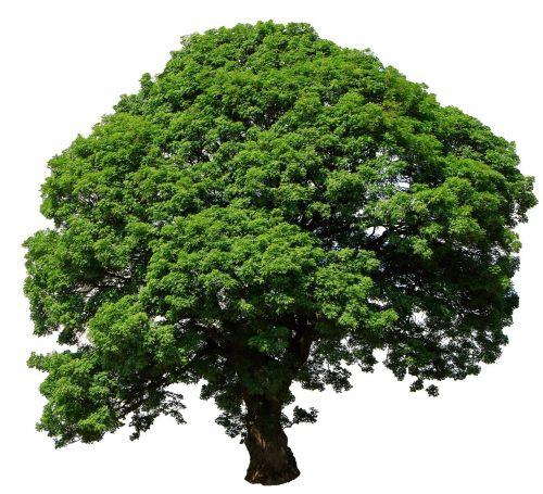 tree isolated white