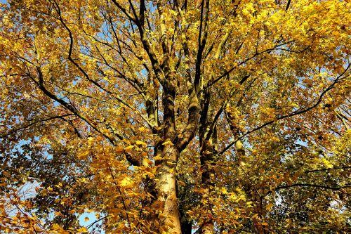 tree autumn tree autumn foliage