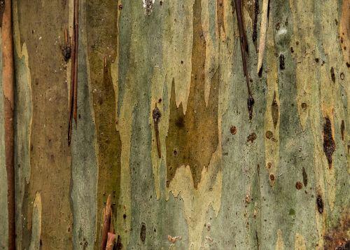 medis,žievė,gumos medis,eukaliptas,bagažinė,lupimasis,gamta,tekstūra,australia