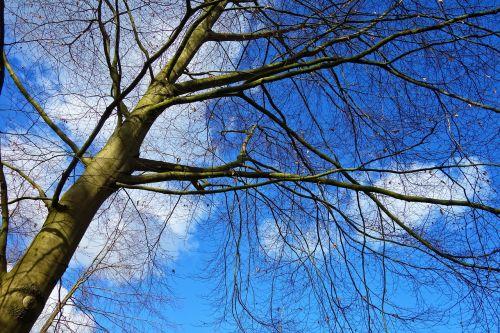 medis, bagažinė, filialas, plikas medis, žiemos medis, filialų raizmas, be lapų, sezoninis, dangus, mėlynas dangus, be honoraro mokesčio