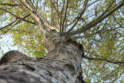 medis, gamta, mediena, žievė, lauke, augalas, kraštovaizdis, filialas, aplinka, bagažinė, senas medis, laukinė gamta, ramus, žalumos, miškas, kelionė, pavasaris, sodas, tashkent, Anitanola, miško peizažas, pavasario miškas, žalias miškas, spygliuočių augalai, gyvoji gamta, be honoraro mokesčio