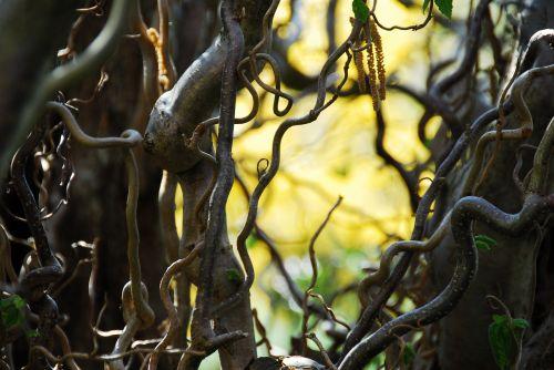 medis, fonas, mediena, gamta, lapai, kamščiatraukis, lazdynas, supainioti, chaotiškas, sodas, augalas, be honoraro mokesčio