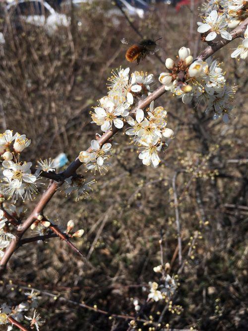 medis, filialas, gėlė, gamta, vyšnių mediena, gėlės, budas, trapumas, be honoraro mokesčio