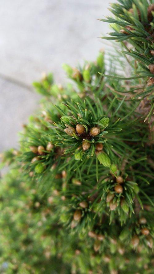 tree  needle  pine