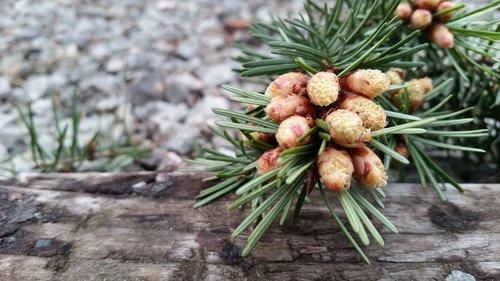 tree  nature  pine
