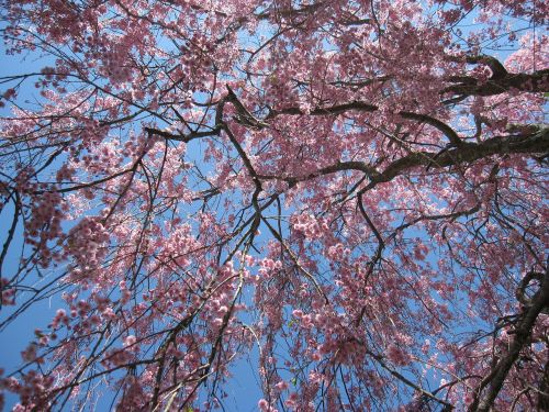 tree flowering tree pink flowers