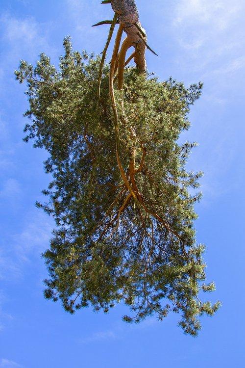tree  pine  sky