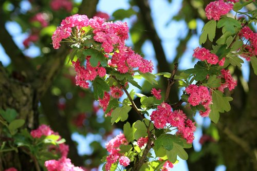tree  crataegus  flowering