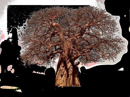 tree  baobab  aesthetic