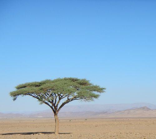 tree desert morocco