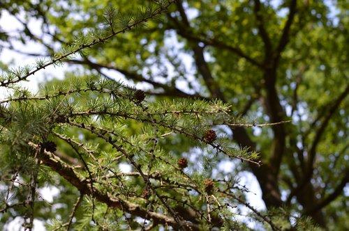 tree  pine tree  pine trees