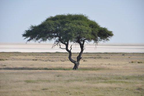 tree  etosha  salt pan