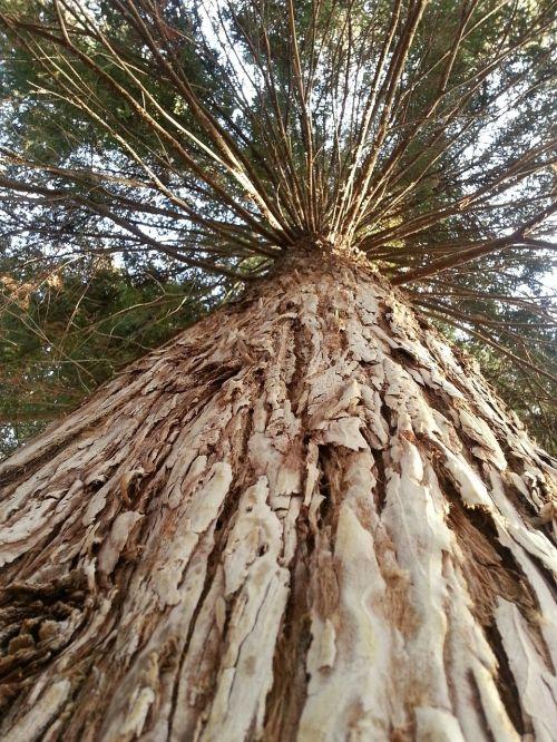 tree big redwood