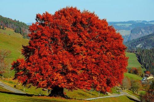 tree  beech  deciduous tree