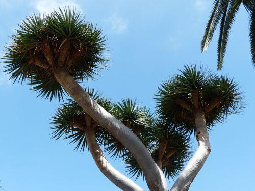 tree crown prickly