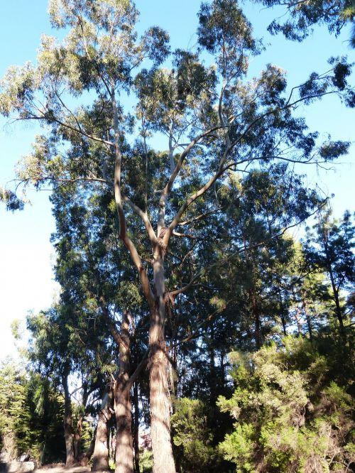 tree eucalyptus eucalyptus tree
