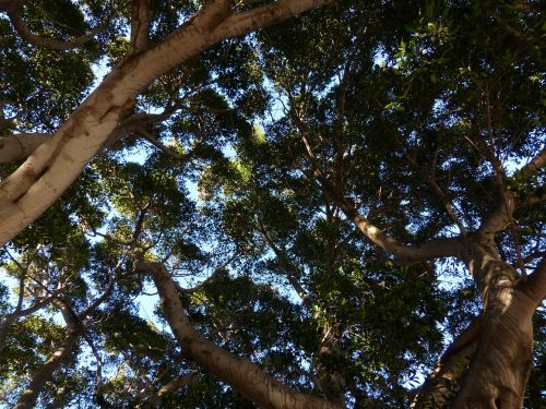 tree crown canopy