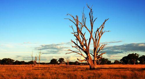 tree outback australia
